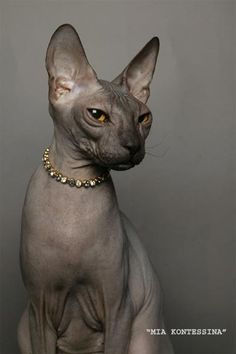 DONSKOY aka DON-SPHYNX: rare russian hairless cat, unrelated to the better known Sphynx breed. The Don hairlessness is caused by a dominant gene, whereas the Sphynx hairlessness is caused by a recessive gene. | photo: Maximus Perpetuum of Don Amour cattery http://www.don-sphynx.eu/