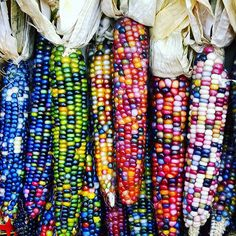 This stunning Colorful 'Glass Gem' corn isn't anything like what you find in…