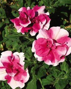 """Peppermint"" double petunia"