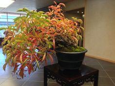 The seasonal bonsai in the entrance foyer today was a Viginia Creeper (parthenocissusquinquefolia)