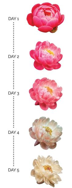 Five days in the life of a Coral Charm peony
