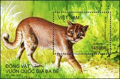Vietnam Asian Golden Cat.