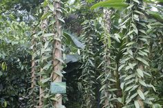 Vanilla orchids: Vanilla is actually orchid and can be grown in proper orchid conditions. It needs support.