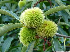 Sweet Chestnut (Castanea sativa) Native to Europe and Asia Minor.