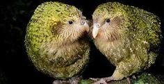 Znalezione obrazy dla zapytania kakapo
