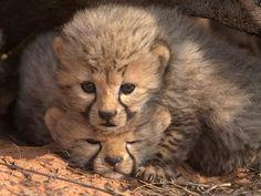 Un cachorrito guepardo de tres semanas de edad, aplasta a uno de sus compañeritos de camada; en el Desierto de Kalahari.
