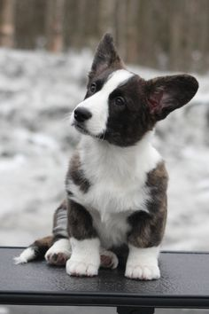 I think is what our dog Jack looked like when he was a puppy (we adopted him as a bigger dog). I think is what our dog Jack looked like when he was a puppy (we adopted him as … Source by rgbaumgartner Cardigan Welsh Corgi Puppies, Corgi Dog, Cute Puppies, Cute Dogs, Dogs And Puppies, Doggies, Teacup Puppies, Animals And Pets, Baby Animals