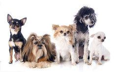 Raças ideais de cachorro para apartamento, raças cachorro apartamento, raças cães apartamento, cães melhores raças apartamento, cão apartamento