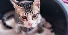Feline idiopathic cystitis, the most common condition of feline lower urinary tract disease (FLUTD), is the inflammation of the bladder without a known cause. http://healthypets.mercola.com/sites/healthypets/archive/2014/02/21/feline-lower-urinary-tract-disease.aspx