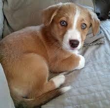 Image result for beagi Unique Dog Breeds, Rare Dog Breeds, Popular Dog Breeds, Corgi Mix Puppies, Pembroke Welsh Corgi Puppies, Cute Puppies, Birthday Corgi, Relaxed Dog, Puppy Dog Eyes