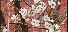 Almond Blossom Festival – | Morocco