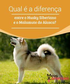 Diferença entre o Husky Siberiano e o Malamute do Alasca  As #raças de cães Malamute do #Alasca e Husky Siberiano são #caracterizadas por serem de animais fiéis, disciplinados e muito companheiros. #Curiosidades