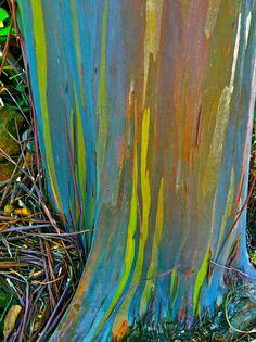 Rainbow Eucalyptus Tree, Kauai, Hawaii