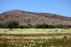 Carpet of Wildflowers Paynes Find Western Australia by Amanda Paul