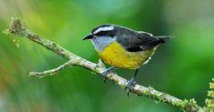 Cambacica constrói dois tipos de ninhos: para a reprodução e repouso