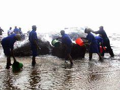 Une baleine à bosse pesant 30 tonnes pour 16 mètres de longeur est décédé malgré les secours, après avoir échoué mardi sur une plage de Port-Gentil, capitale économique du Gabon, a-t-on appris auprès de la direction de la pêche de la localité.