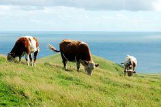 Les Îles-de-la-Madeleine, Quebec Canada, Country Life, Cattle, Farm Animals, Cow, Madeleine, Gado Gado, Country Living, Res Life
