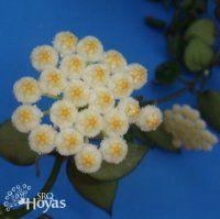 Hoya krohniana 'Eskimo' Plant