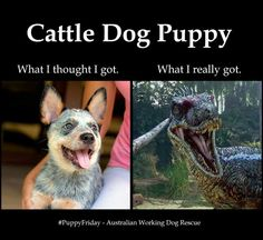 So true! Cattle dog is actually velociraptor Aussie Cattle Dog, Austrailian Cattle Dog, Herding Dogs, Dog Rules, T Rex, Rescue Dogs, Dog Mom, Dogs And Puppies, Doggies