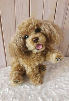 Caramel miniature poodle By Bogacheva Olga - Bear Pile