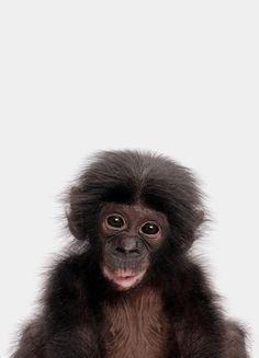 « Bonobo » par Paws & Claws | #Animaux #Singes #Artpourenfants #Animauxsauvages #Marron #Noir #JUNIQE | Plus daffiches sur www.juniqe.fr Black And White Baby, Black White Photos, Little Girl Rooms, Little Girls, Baby Chimpanzee, Monkey Island, Baby Animals, Photo Art, Nursery Decor