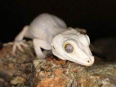 Meet the Gargoyle Gecko... again. I love the colouring but it's soo rare