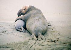 elephant seal bull and pup--Piedras Blancas seal rookery, Cambria, CA Funny Animal Memes, Funny Animals, Cute Animals, Cambria California, California Coast, Small Shark, Sea Cow, Elephant Seal, San Simeon