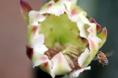 Cactus Flower - Bee in Flight