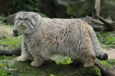 Pallas's cat (Otocolobus manul), also called the manul, Pallas cat, Asian cat, is a small wild cat having a broad but patchy distribution in the grasslands and montane steppe of Central Asia. The species is negatively affected by habitat degradation, prey base decline, and hunting, and has therefore been classified as Near Threatened by IUCN since 2002.