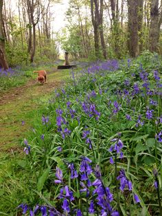 A bluebell wood in the Penrhos Coastal Walk, on Anglesey
