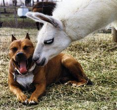 @Beth de Jonge - A Llama & His Dog! Love this!!! (Remind You Of Someone?)