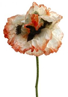 """tacticalshoyu: """" French artist Rachel Lévy photographs flowers that are past their prime: wilting, fading and revealing visible signs of decay. Nonetheless, captured in the last fleeting moments..."""