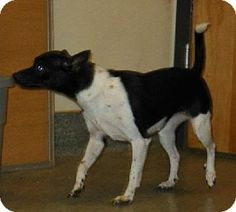 Rat Terrier Mix - Issaquah, WA - Roxy is looking for a home to call her own. Please give her a helping hand by sharing this post. Thanks. Female Rat Terrier mix - Approximately 2 years old - Approximately 6 lbs. - Working on house training - Working on crate training - Okay with other dogs, not sure about cats but can test her -   Dog respectful children 8 and older -  I am already spayed.