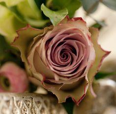 A gorgeous 'Old Dutch' rose. A kinda dusky pink. Lovely.