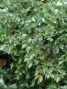 sarcococca ruscifolia - Bing Images