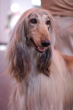 84 Best My love for Afghan Hounds images in 2019 | Afghan
