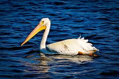 White Pelican at Ft. Desoto, Fl floating in blue.