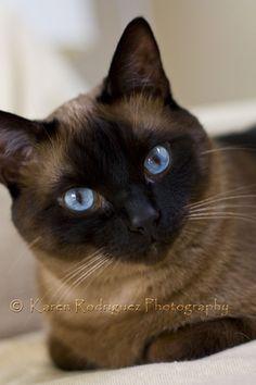 Siamese Cats Chuey by Karen Rodriguez on Pretty Cats, Beautiful Cats, Animals Beautiful, Cute Animals, Siamese Cats, Cats And Kittens, Balinese Cat, Cat With Blue Eyes, Mundo Animal