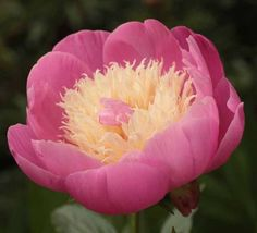 """Bowl of Beauty - Herbaceous Peony/ Paeonia.  Fragrant peony, grows to 36"""" (90cm), mid to late flowering"""