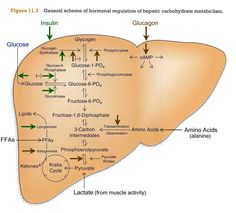 glycogenesis - - Yahoo Search Results