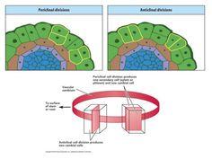 Anticlinal vs Periclinal Divisions