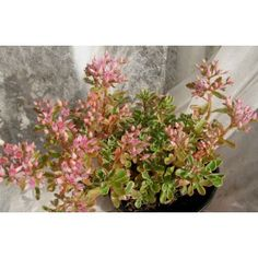 """Sedum spurrium variegata """"rose"""""""