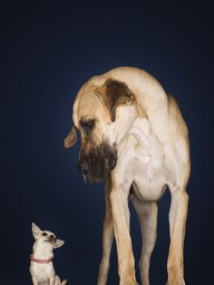 Toy Chihuahua and Great Dane