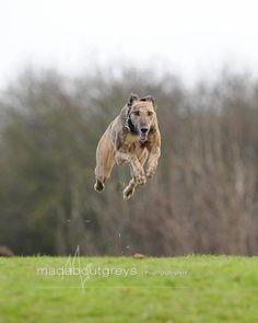 greyhound!