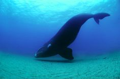 southern right whales underwater