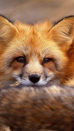 fox_grass_lie_face_hair_64884_640x1136 | Flickr - Photo Sharing!