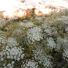 Queen Anne's Lace Queen of Africa