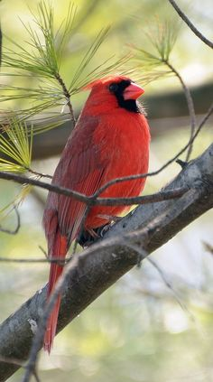 Cardinal in a Tree @ its-a-green-lifeits-a-green-life