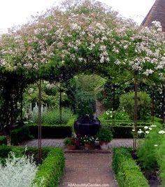 Rosa mulliganii covers the huge canopy in the center of the White Garden at Sissinghurst.