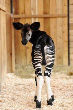 "rare ""forest giraffe"" baby. baby got back!"